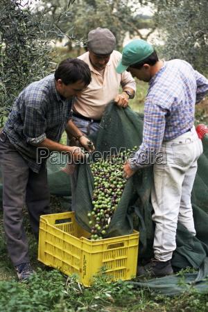 gathering olives for fine extra virgin