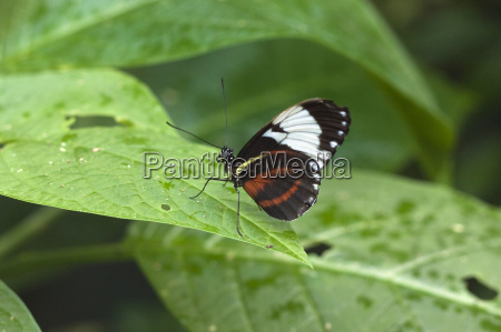 mechanitis polymnia isthmia butterfly a common
