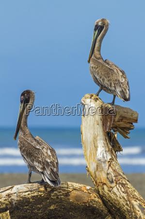 pair of brown pelicans pelecanus occidentalis
