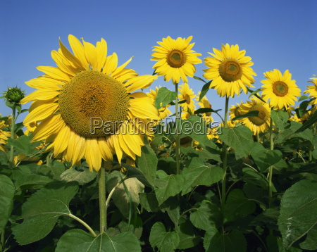 close up of sunflowers which are