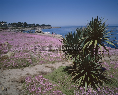 the magic carpet of mesembryanthemum flowers
