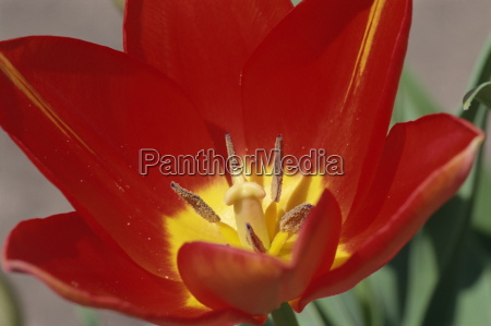 close up of red darwin tulip