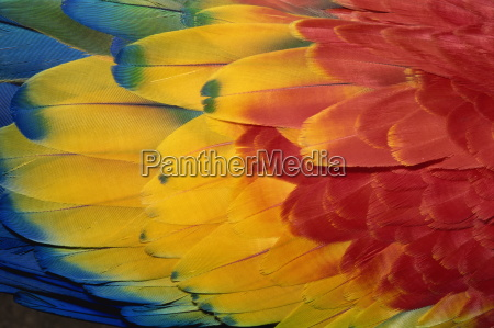feathers of scarlet macaw guatemala central