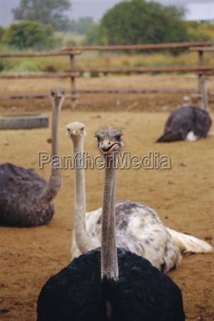 ostrich farm in oudtshoorn little karoo