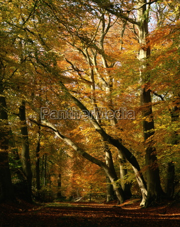 beech trees in autumn foliage in