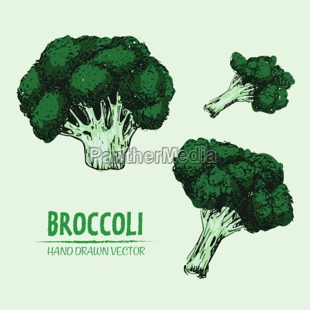 digital vector detailed color broccoli hand