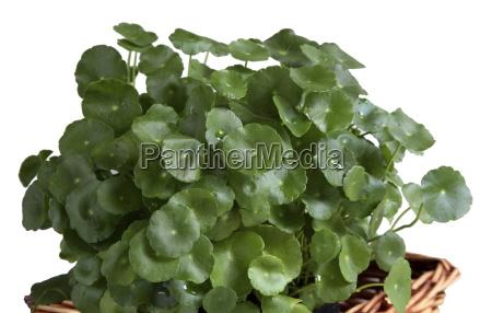 brahmi leaves centella asiatica used for