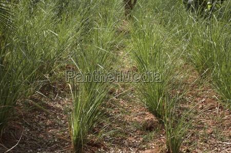 vetiver chrysopogon zizanioides native to
