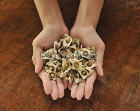 pod seeds of malunggay moringa oleifera
