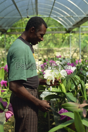 supervisor tending orchids for export golden
