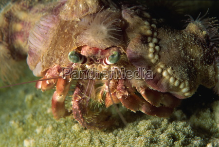a decorator crab camouflages himself by