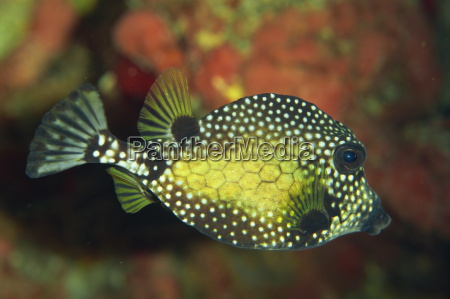 smooth trunkfish lactophrys triqueter tobago west