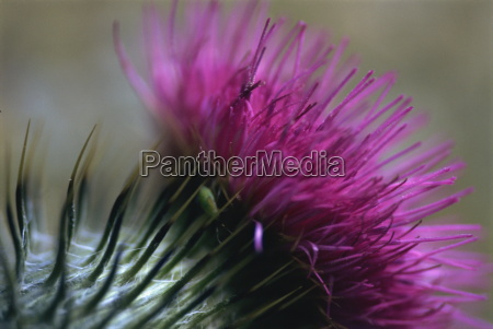 close up of a scottish thistle