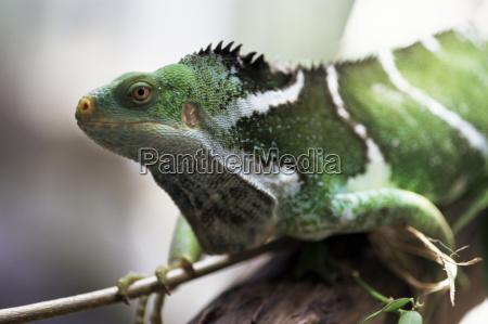 fijian crested iguana endemic to fiji