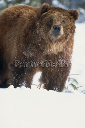 brown bear grizzly ursus horribillis in