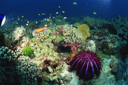 crown of thorns starfish acanthaster planci