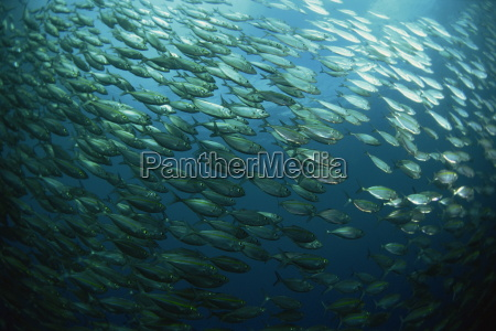 school of smooth tailed trevally near