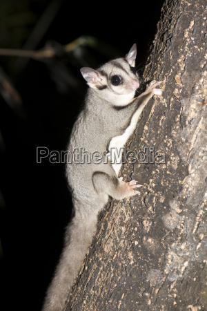 sugar glider petaurus breviceps has a