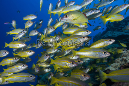 schooling yellow striped goatfish mulloidichthys vanicolensis