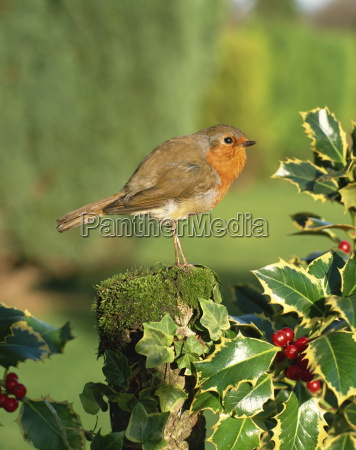 robin erithacus rubecula perching on post