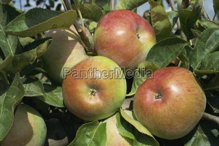 ontario apples potager du roi chateau