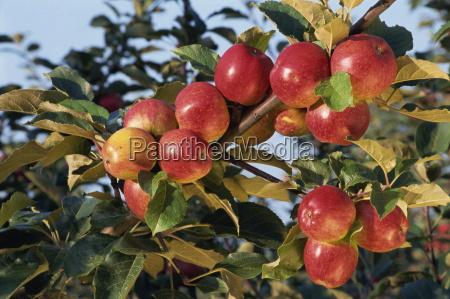 frequin rouge cider apples normandie france