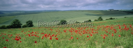 poppies in june the south downs