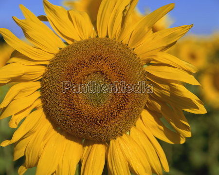 close up of large sunflower provence