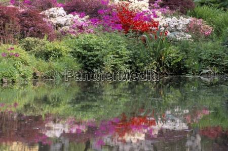 azaleas in bloom reflected in still