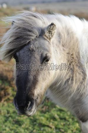 pony on windy day dartmoor devon