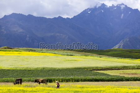 cultivated fields and cattle moho bordering