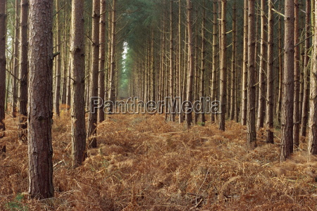 pine trees in rows norfolk wood