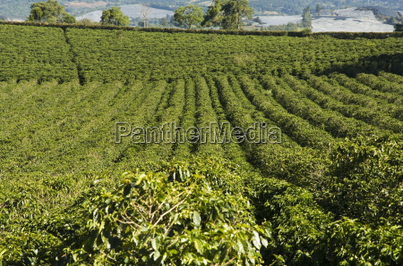 coffee plantations on the slopes of