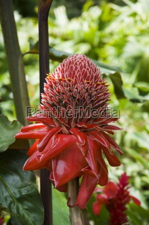 tropical flower costa rica central america