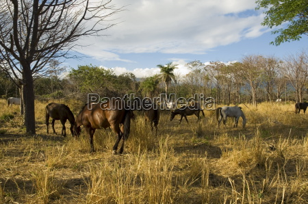 farmland with horses grazing hacienda guachipelin