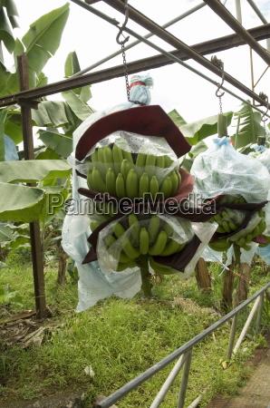 transporting bananas from plantation costa rica