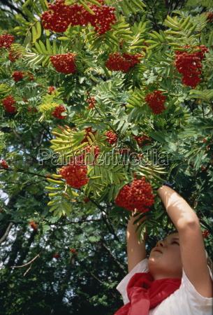 picking roan tree berries in norway