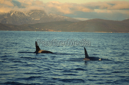 killer whales orcinus orca research wintertime