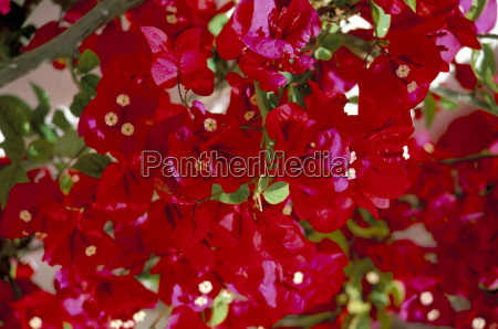 close up of pink bougainvillea flowers