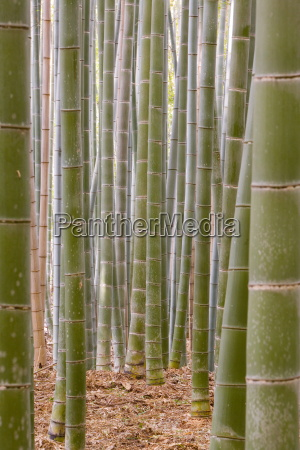 close up of stems bamboo forest