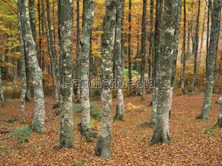 grey mottled trunks of trees in