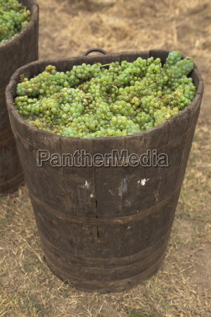 muscadet grapes western loire france europe
