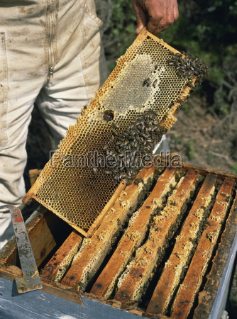 bee keeper collecting honey from combs