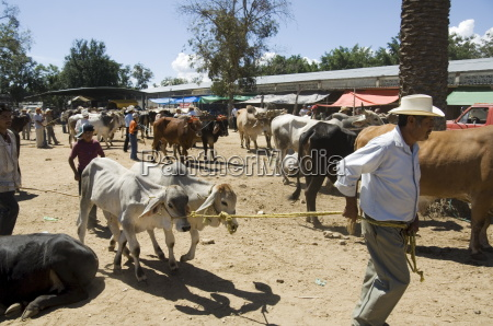 livestock market zaachila oaxaca mexico north