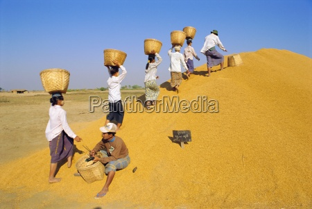 girls depositing rice tax government rice