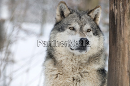 north american timber wolf canis lupus