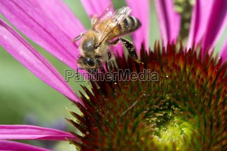honey bee apis mellifera feeding on