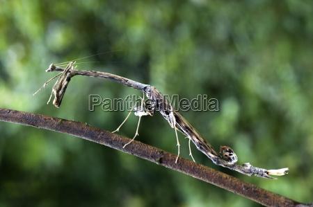 spiky stick praying mantis paratoxodera sp