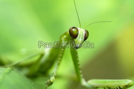female green praying mantis hierodula sp