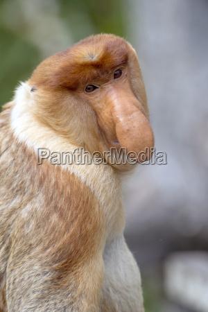 dominant male proboscis monkey nasalis larvatus